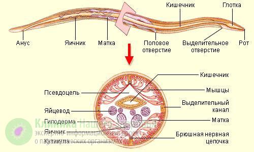 Аскарида: симптомы, жизненный цикл развития, профилактика и лечение