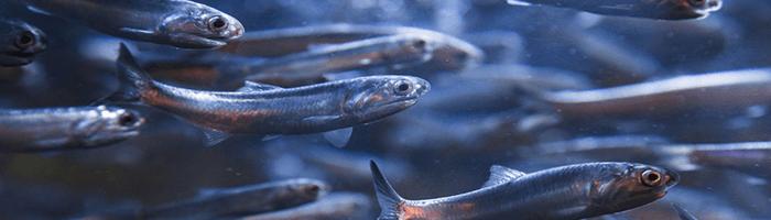 Photo of От какой рыбы можно заразиться описторхозом