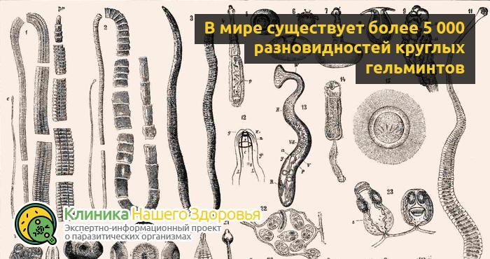 Маленькие белые глисты у человека: виды и особенности