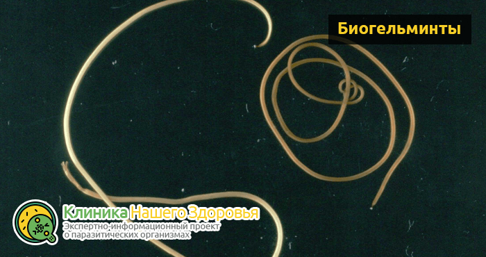 Круглые черви (нематоды): виды, строение и жизненный цикл