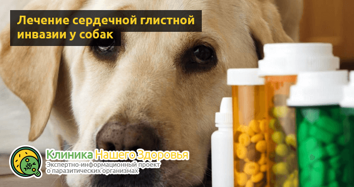 Сердечные глисты у собак: симптомы, лечение и профилактика