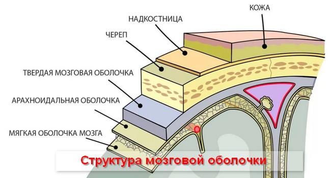 структура мозговой оболочки