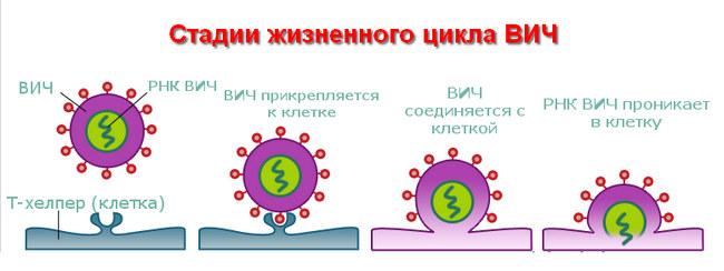 возбудитель ВИЧ инфекции и СПИДа
