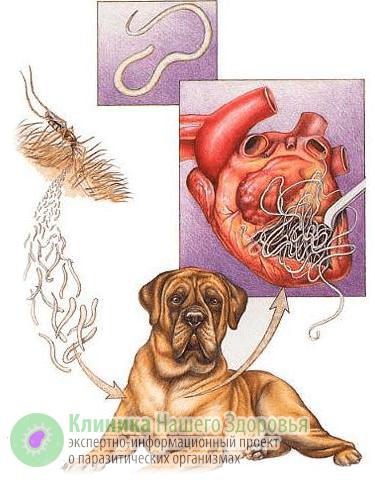 Дирофиляриоз: симптоматика, подкожный и внутренний дирофиляриоз у человека, лечение и профилактика