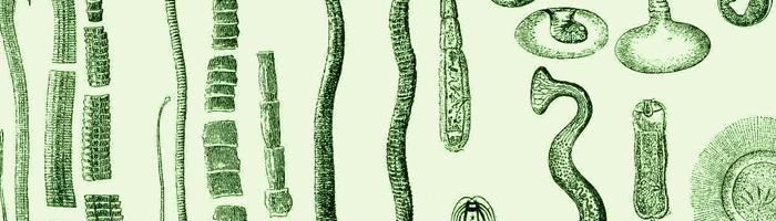 Виды глистов: круглые черви, сосальщики и ленточные гельминты