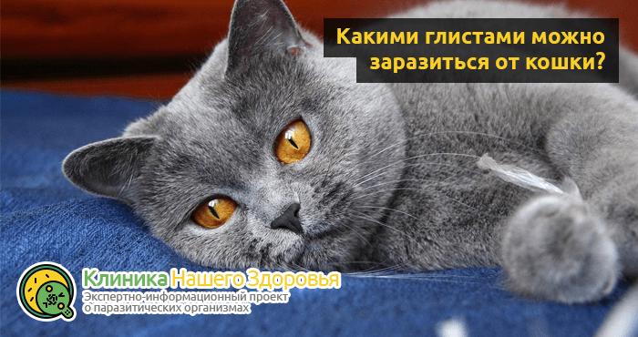 Можно ли заразиться глистами от кошки? Пути передачи опасных паразитов